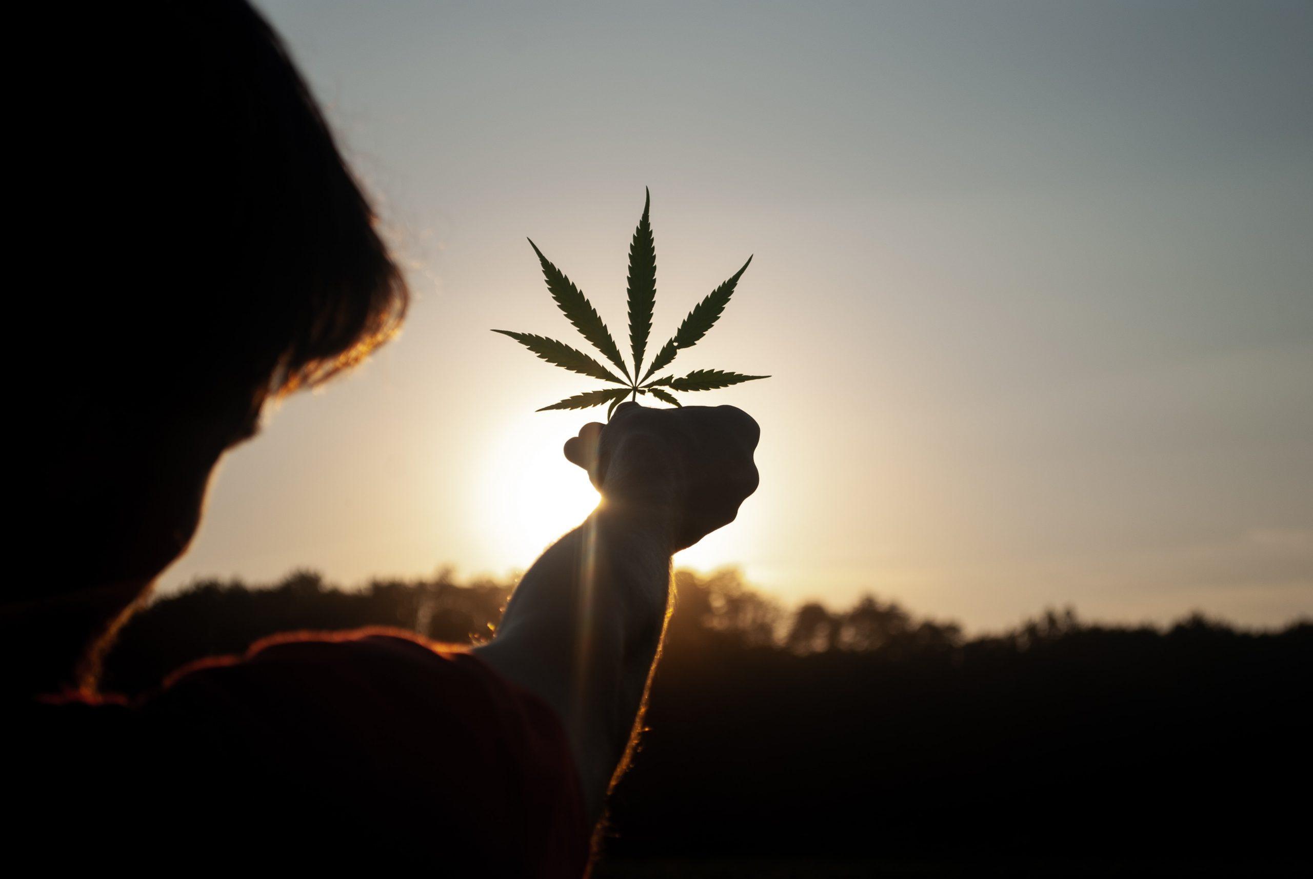Planta de cannabis tinuta in mana de un barbat la apus de soare
